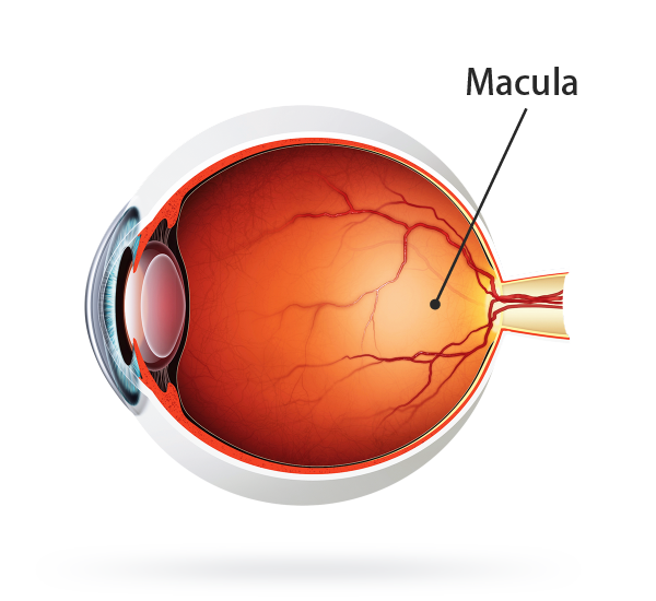 Eye diagram no labels free download wiring diagram protect yourself from macular degeneration with iris iris protect yourself from macular degeneration with iris eye diagram to label fill in the blank ccuart Choice Image