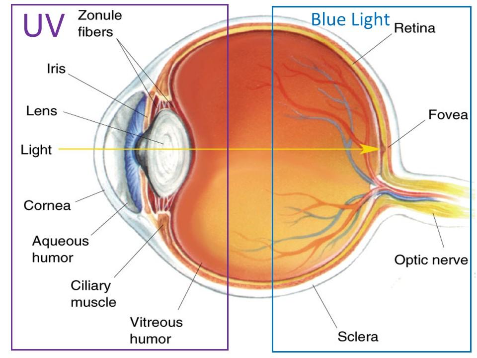 blue light uv light eye structure eye harm eye strain filter protection