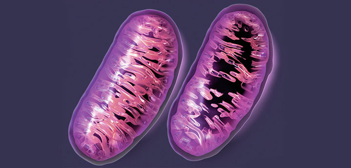 the difference between healthy and damaged mitochondria